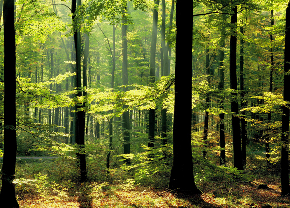 Forest of spring morning 8033pw for Autumn forest 216 wall mural